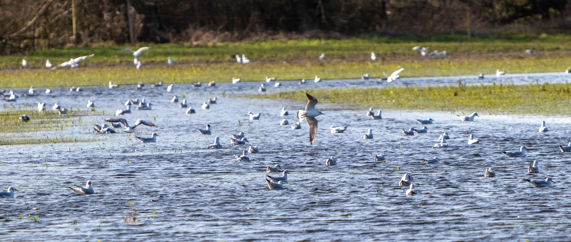 Large Flock of Black Headed Gulls on North Meadow