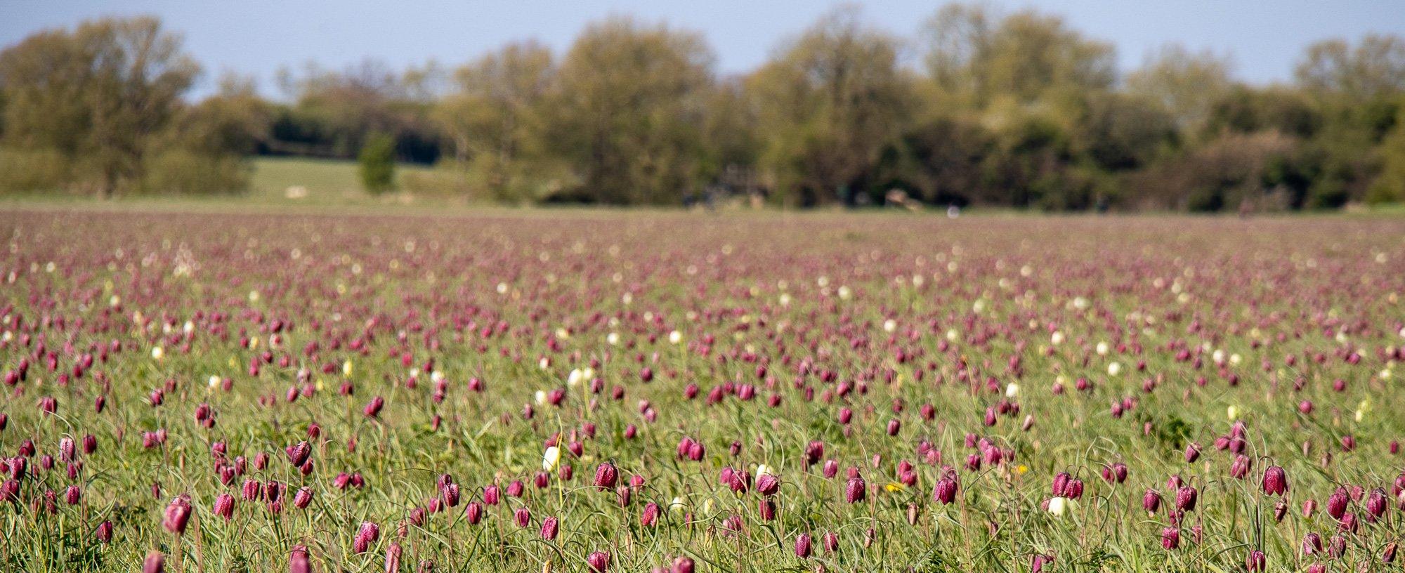 The Fritillaries are Just Past Peak Flowering